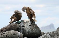 Пары Сине-footed олуха (nebouxii Sula) Стоковая Фотография RF