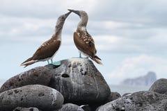 Пары Сине-footed олуха (nebouxii Sula) Стоковые Фото
