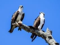 Пары скопы садить на насест в старом дереве схватывая мертвых рыб Стоковая Фотография