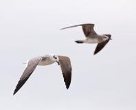 Пары смеясь над чайки Стоковое Изображение RF
