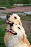 Пары собаки пота Стоковые Фотографии RF