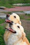Пары собаки пота Стоковое Изображение