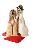 Пары собак афганской борзой Стоковая Фотография RF