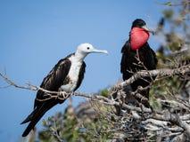 Пары сопрягать пышные фрегаты в размножении приправляют Стоковые Фото