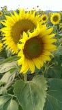 Пары солнцецвета Стоковое фото RF
