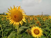 Пары солнцецветов Стоковая Фотография