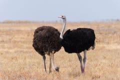 Пары страуса стоковые изображения