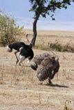 Пары страусов показывая сопрягая ритуал Стоковое Изображение