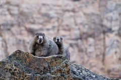 Пары суроков в горах Стоковые Фотографии RF
