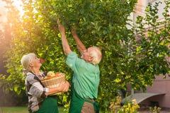 Пары с яблоками рудоразборки корзины Стоковое фото RF