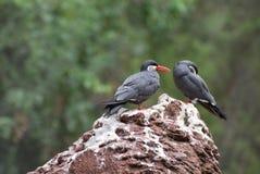 Пары троек Inca стоя на утесе Стоковые Изображения RF