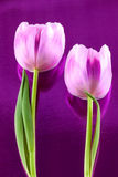 Пары тюльпанов Стоковое Изображение RF