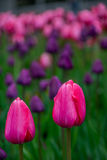Пары тюльпанов стоковое фото rf