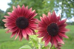 Пары уникально красных бургундских солнцецветов chianti стоковое изображение