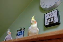 Пары усаживания увиденного Cockatiels на bookcase в консерватории Стоковое Изображение