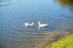 Пары утки в пруде Стоковое фото RF