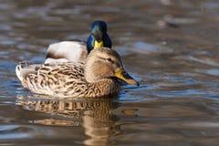 Пары утки кряквы на воде Стоковые Изображения
