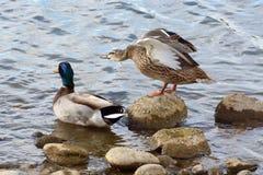 Пары утки кряквы на скалистом крае озера подпирают Стоковая Фотография RF