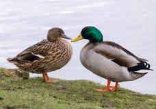 Пары утки кряквы Стоковое Фото