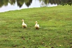 Пары утки на озере Стоковая Фотография RF