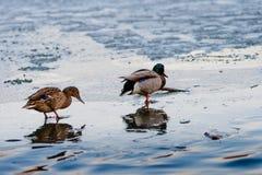 Пары утки на плавя льде pond в парке весной на заходе солнца в апреле Drake с уткой Стоковое фото RF
