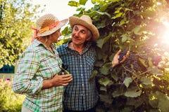 Пары фермеров проверяя урожай виноградин на экологической ферме Счастливый старшего сбор сбора человека и женщины стоковые изображения rf