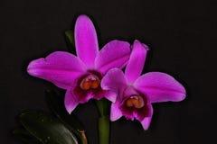 Пары фиолетовых цветков орхидеи стоковая фотография rf