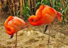 пары фламингоов Стоковое Изображение RF