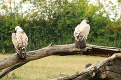Пары хищника Griffon сидя на ветви во время пасмурного дня Стоковая Фотография