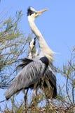 Пары цапли в дереве стоковые фото