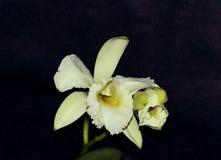 Пары цветка орхидеи cattleia стоковое фото rf