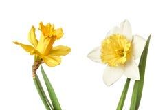 Пары цветка narcissus изолированные на белой предпосылке Стоковые Изображения