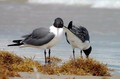 пары чайки смеясь над Стоковые Фотографии RF