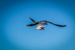 Пары чайок летая в голубое небо предпосылки стоковая фотография rf