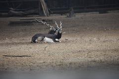 Пары черного самца оленя стоковые изображения rf
