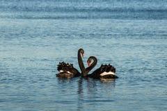 Пары черных лебедей в ухаживании Стоковое Изображение RF