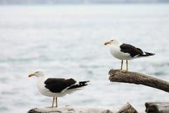 Пары южной поддерживаемой черно чайки Стоковые Фотографии RF