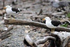 Пары южной поддерживаемой черно чайки Стоковое Фото