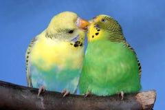 пары budgie целуя Стоковые Изображения