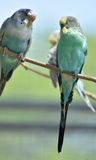 Пары Budgies сидя совместно в дереве Стоковая Фотография