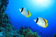 пары butterflyfish Стоковое Изображение RF