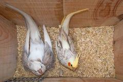 Пары Cockatiel в гнезде Стоковое фото RF