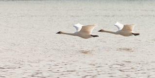 Пары Cygnus лебедей трубача летания buccinator Стоковые Изображения RF
