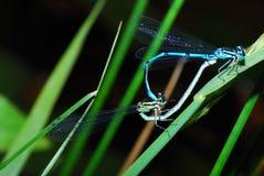 Пары Dragonflies Стоковые Изображения RF