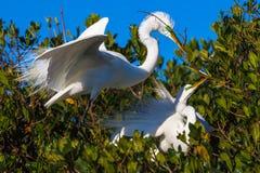 пары egret большие Стоковые Фотографии RF