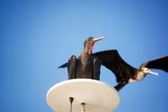 Пары Frigatebirds стоковая фотография rf