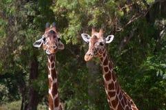 Пары giraffes стоковые изображения rf