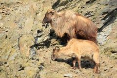 Himalayan tahr Стоковое Изображение