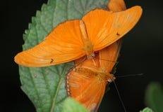 пары julia heliconians Стоковое Фото