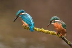 Пары Kingfisher Стоковые Изображения